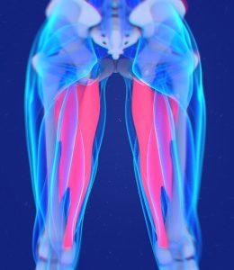 adductor, inner thigh muscles